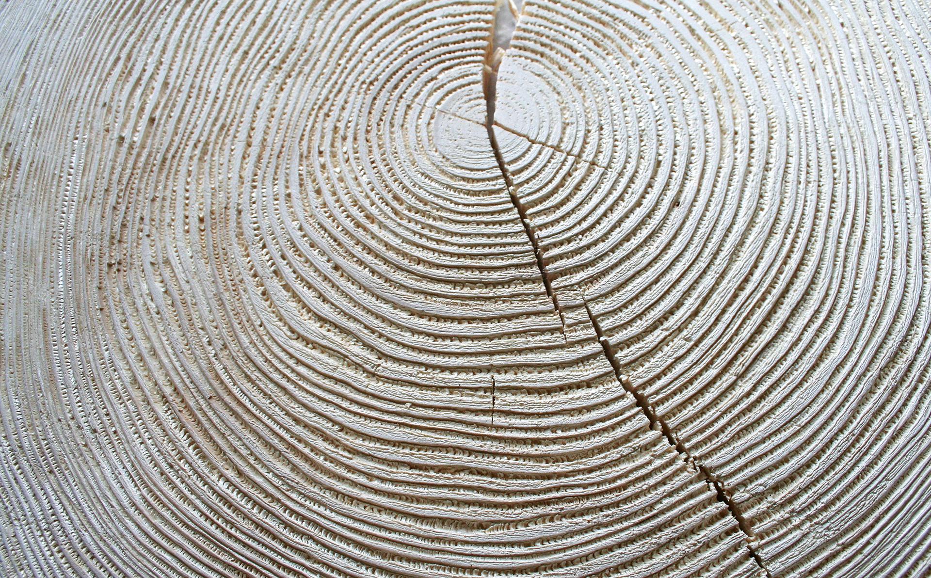 präparierte Baumscheibe